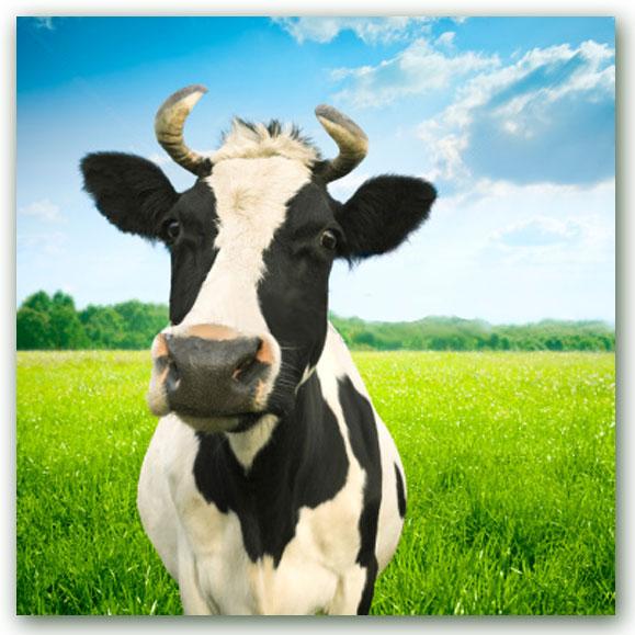 moo-cow1